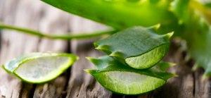 Aloe-Vera-leaves